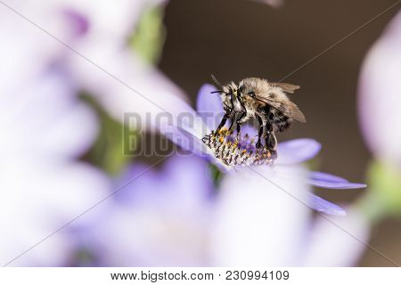 Honey Bee At Work In Spring On A Coneflower