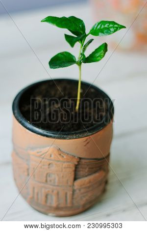 Coffee Arabica Sprout In A Ceramic Flowerpot