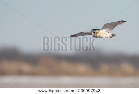 Short-eared Owl In Flight