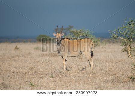 Eland Grazing In Nairobi National Park, Kenya.