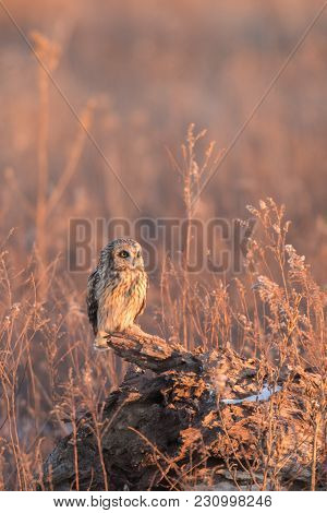 Short-eared Perched On A Fallen Tree In An Open Meadow At Evening In Indiana.