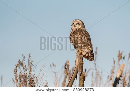 Portrait Of A Short Eared Owl With Blue Sky