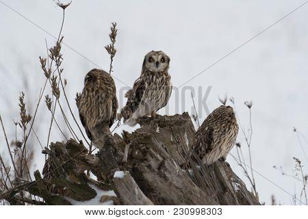 Three Short Eared Owls