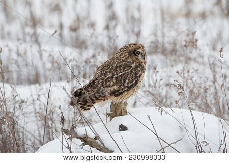 Short Eared Owl Perched On The Snow Covered Ground In Indiana