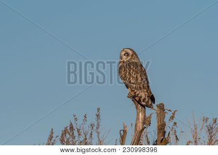 Portrait Of Short Eared Owl