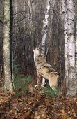 Grey wolf howling in the wood in autumn. Northern Minnesota poster