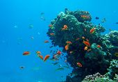 Tropical fish of the Red Sea coral reef poster