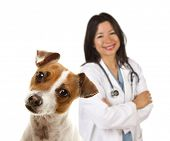 Adorable Jack Russell Terrier and Female Veterinarian Behind Isolated on a White Background. poster