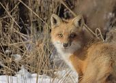 Red Fox in a snow-covered field in winter poster