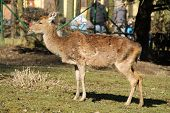 axis deer female in the outdoor enclosure poster