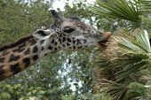 giraffe stretching long neck to eat from a tree branch poster