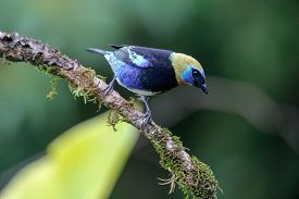 A Golden-hooded Tanager In The Arenal National Park Costa Rica