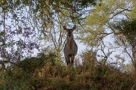 Waterbuck In The Kruger National Park South Africa