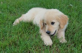 Golden Retriever Puppy. An Adorable 12-week Old Golden Retriever Puppy Plays In The Grass On The Fir