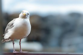 Seagull Standing On Railing At Seaside. Blue Water In Background And Bird In Foreground.