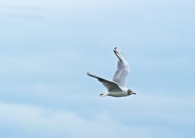 Tern in Flight