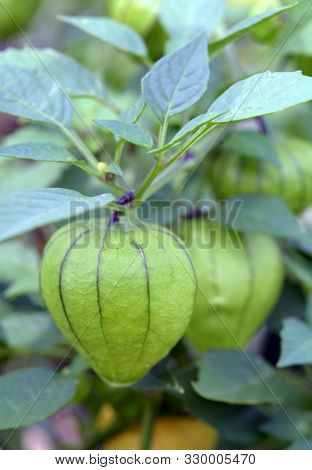 Many Tomatillo Fruit Plant In The Garden