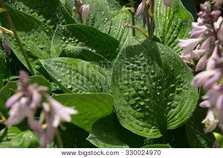 Leaves Of Hosta With Droplets Of Water With Lotus Effects, Purple Flowering Hosta Or Hostas With Rai