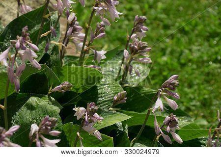 Wet Purple Hosta Flower And Leaves Close-up, Purple Flowering Hosta Or Hostas With Rain Drops In Sum