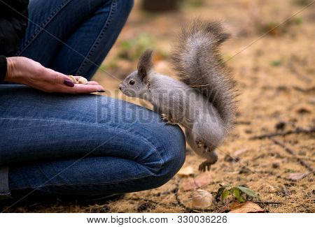 Cheeky Squirrel Climb Up On Human Knees To Eat Nuts, Outdoor In Urban Park In Autumn. Selective Focu