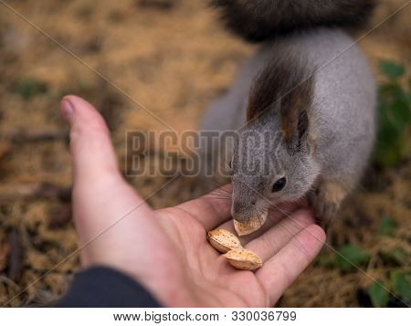 Tame Squirrel Is Eatting Out Nuts Of Human Hand In Urban Park In Autumn, Close Up, Selective Focus.