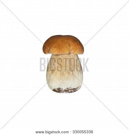 Beautiful Boletus Edulis Isolated On White Background. Edible Tasty Mushroom Penny Bun, Porcini, Cep