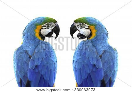 Cose Up From Back Of Side-facing Two Blue And Gold Macaws (ara Ararauna) Isolated On White Backgroun