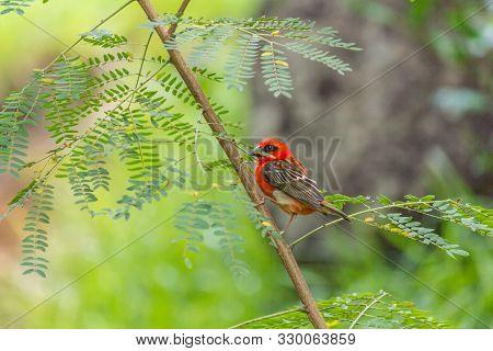 Red Bird On A Green Tree, Seychelles