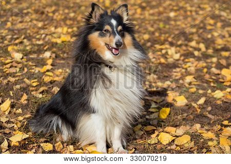 Cute Scotch Collie Is Sitting On Yellow Leaves In The Autumn Park. Pet Animals.