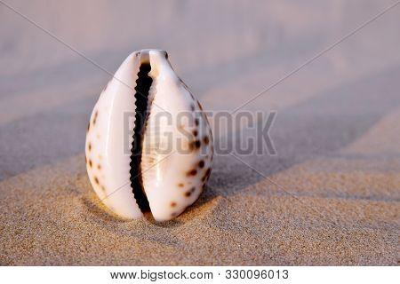 Sea shell in the form of female genitalia, vagina poster