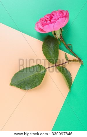 Flat View Of Pink Rose On The Colour Background.