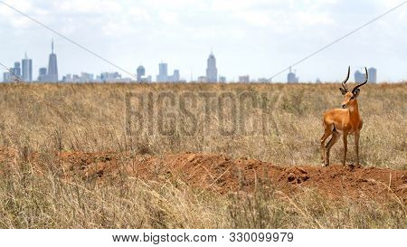 Male impala, aepyceros melampus, , stands on a mound in Nairobi National Park, Kenya. The city skyline can be seen in the background. Nairobi is the only capital in the world to have a National Park