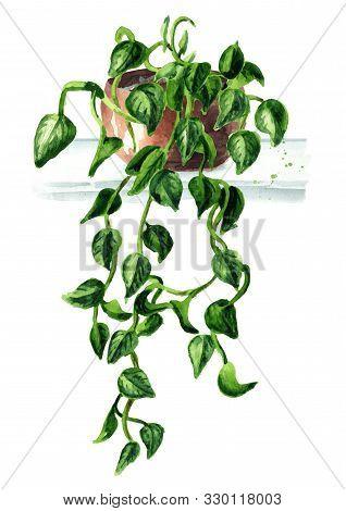 Scindapsus Aureus Basket Flower In The Pot. Indoor, Home, House Plant, Watercolor Hand Drawn Illustr