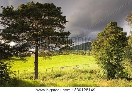 Grazing Sheep On A Meadow Seen Between Two Trees In The Norwegian Gudbrandsdalen Region