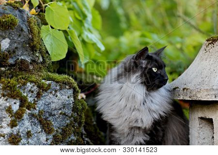 A Black Smoke Pure Bred Norwegian Forest Cat Male Sitting Between Stones In Garden
