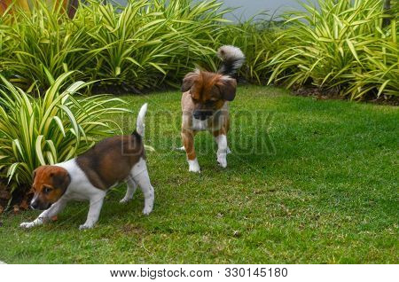 Canine Activities. Cute Puppies Playing On A Green Grass Garden Lawn. Thailand.