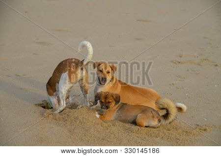 Three Cute Dogs Together. One Dog Digging A Hole In The Beach And Spraying Sand On The Others. Thail