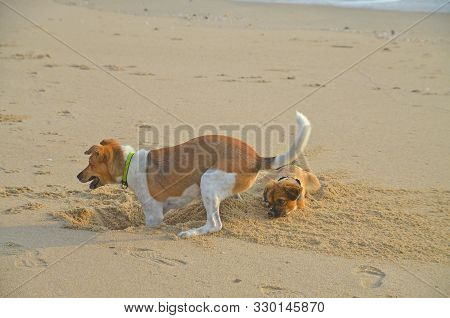 Two Cute Dogs Together. One Dog Digging A Hole In The Beach And Spraying Sand On The Other. Thailand