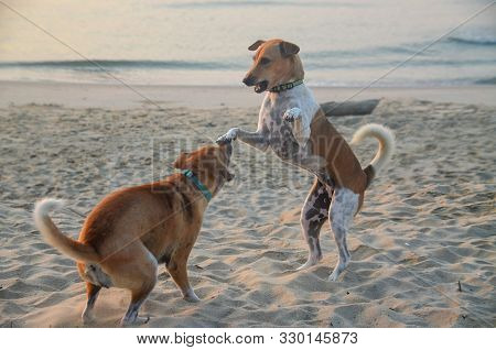 Canine Activities. Two Dogs Playing On A Tropical Sandy Waterfront Beach With One Dog Standing On Hi