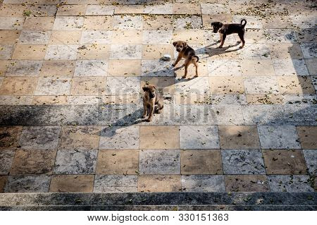 Three Puppies On A Tiled Floor Looking Like A Chess Board, Alappuzha, Kerala, India