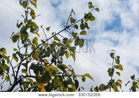 Tree Branches With Green Leaves On A Background Of Blue Sky With White Fluffy Clouds.
