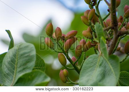 Cultivation Of Important Ingredient Of Italian Cuisine, Plantation Of Pistachio Trees With Ripening