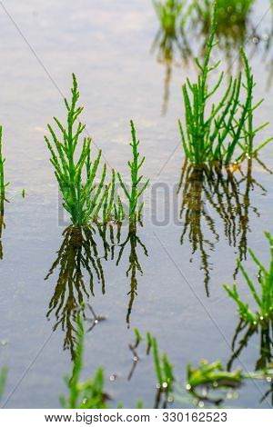 Salicornia Edible Plants Growing In Salt Marshes, Beaches, And Mangroves, Named Also Glasswort, Pick