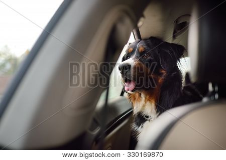 Purebred Dog Breed Sennenhund Rides In The Car. Transportation Of Large Animals. Bernese Mountain Do
