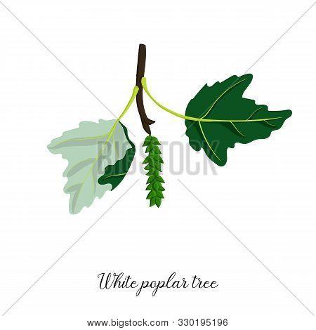 Vector Drawing Branch Of White Poplar Tree, Hand Drawn Illustration