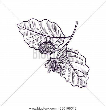 Vector Drawing Branch Of Beech Tree, Hand Drawn Illustration