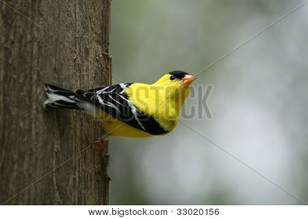 American Goldfinch alert and watching