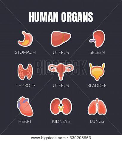 Human Organs Banner Template With Internal Organs, Stomach, Uterus, Spleen, Thyroid, Bladder, Heart,