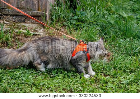 Fluffy Maine Coon Cat In A Harness On A Leash. Walk With An Outdoor Cat On Green Grass. Orange Harne