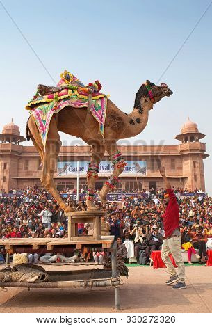 Dromedary Camel Dancing During Camel Festival In Rajasthan State, India